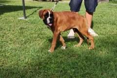 Les Belles Truffes - Bulldog Continental - Boxers - Expositions 2021 - Eymeux - REGIONALE ELEVAGE