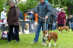 Les Belles Truffes - Bulldog Continental - Expositions 2019