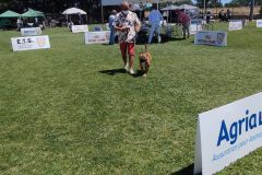 Les Belles Truffes - Bulldog Continental - Expositions 2021