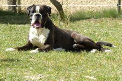 Les Belles Truffes - Boxer - Mâle - N'Gonzo de la Joyful Team