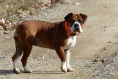 Les Belles Truffes - Bulldog Continental - Femelle - Nixie des Pipettechorizo