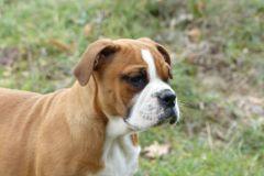 Les Belles Truffes - Elevage - Bulldog Continental - Femelle - Pin'Up des Belles Truffes