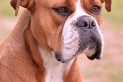 Les Belles Truffes - Bulldog Continental - Femelle - Phrishka des Pipettechorizo