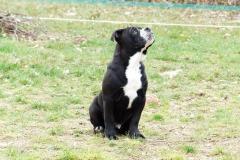 les_belles_truffes_bulldog_continental_elevage_ralph_male_3