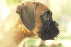 Les Belles Truffes - Boxer - Femelle - Rkelly de Bellemanie