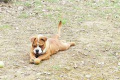 Les Belles Truffes - Elevage - Bulldog Continental - Femelle - R'Mione Des Belles Truffres