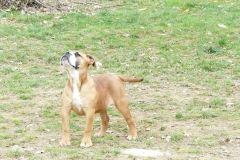 Les Belles Truffes - Elevage - Bulldog Continental - Femelle - Robine Wood des Belles Truffes