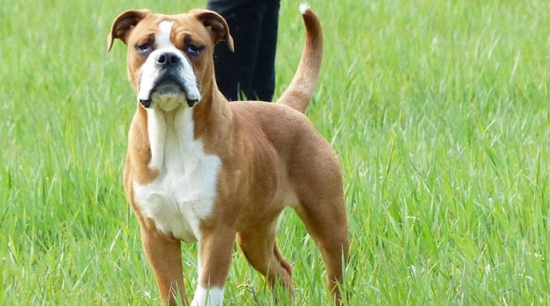 Les Belles Truffes - Bulldog Continental - Femelle - Pin'Up Des Belles Truffes
