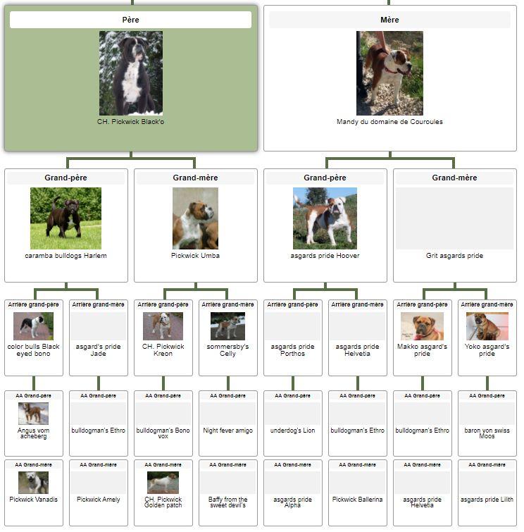 Les Belles Truffes - Bulldog Continental - Femelle - Nixie des Pipettechorizo - Pédigrée