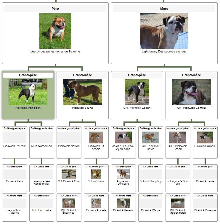 Les Belles Truffes - Bulldog Continental - Femelle - Oxane (Sans affixe) - Pédigrée