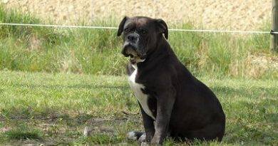 les belles truffes-bulldog continental-never say good bye du jardin d'eywa
