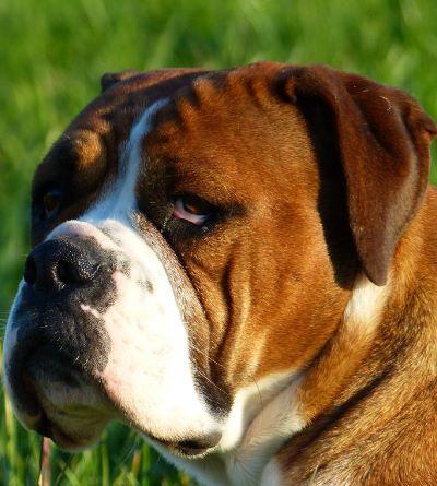 Belles Truffres - Elevage - Bulldog Continental - Male - Nixie des Pipettechorizo - Mariage