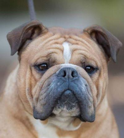Belles Truffres - Elevage - Bulldog Continental - Male - Narco des Sources Sacrées - Mariage
