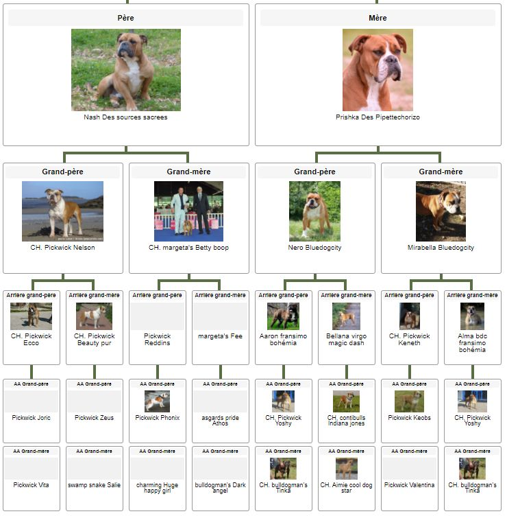 Les Belles Truffes - Elevage - Bulldog Continental - Mâle - Robine Wood des Belles Truffes Pédigrée