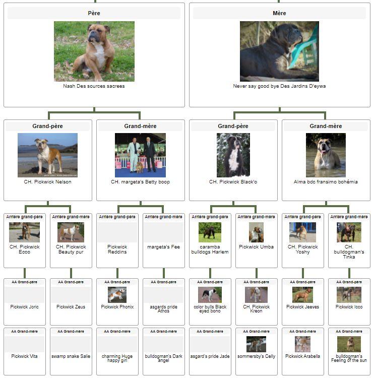 Les Belles Truffes - Bulldog Continental - Mâle - Ralph des Belles Truffes - Pédigrée