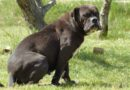 Les Belles Truffres - Elevage - Bulldog Continental - Femelle - Never Say Good Bye des Jardins d'Eywa