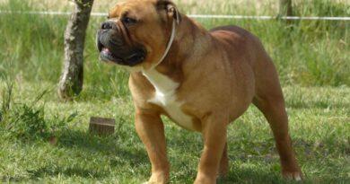 Les Belles Truffes - Bulldog Continental - Mâle - Nash des Sources Sacrées