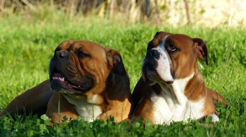 Les Belles Truffes - Bulldog Continental - La Race