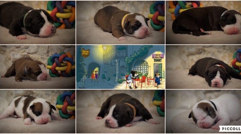 Belles Truffres - Naissance chiots bulldog continental - Nixie des Pipettechorizo
