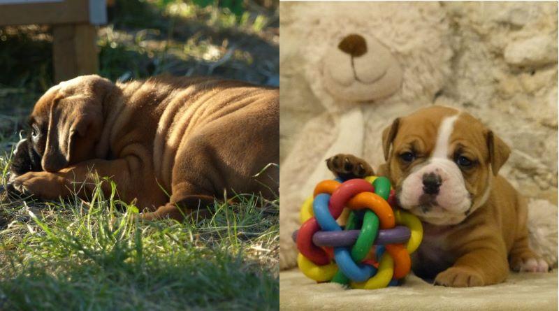 Les Belles Truffes - Bulldog Continental - Elevage des Belles Truffes - Les chiots
