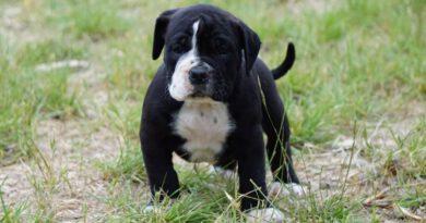 Les Belles Truffes - Bulldog Continental - Femelle - Scarlett des Belles Truffes