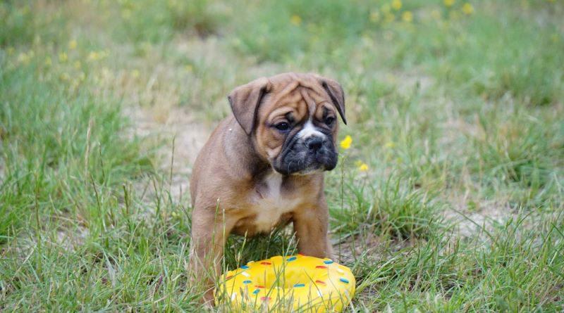 Les Belles Truffes - Bulldog Continental - Femelle - Sybelle des Belles Truffes