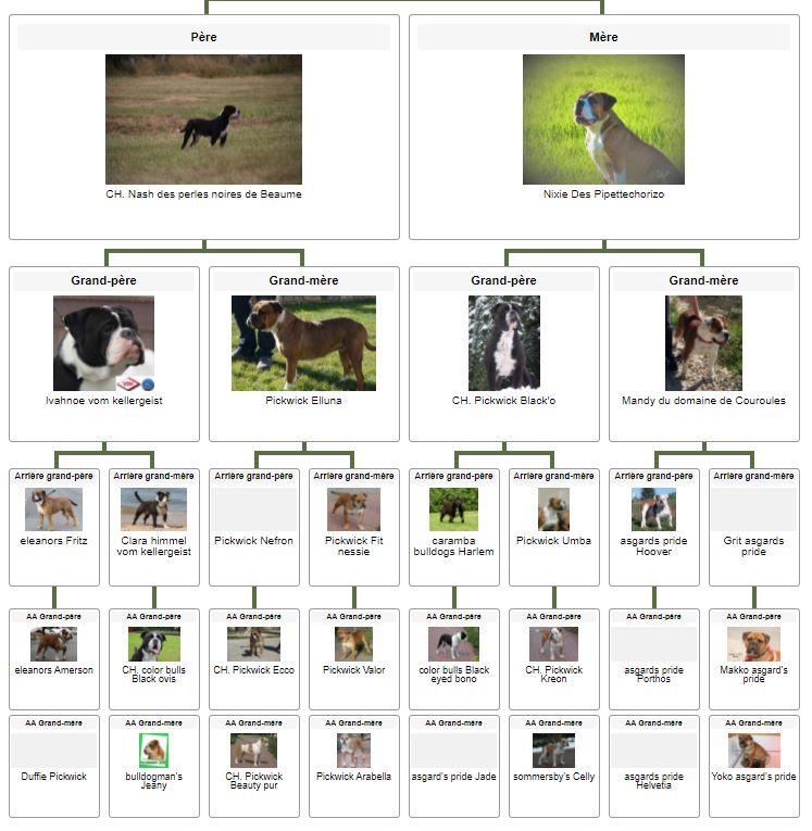 Les Belles Truffes - Bulldog Continental - Femelle - Scarlett des Belles Truffes - Pédigrée