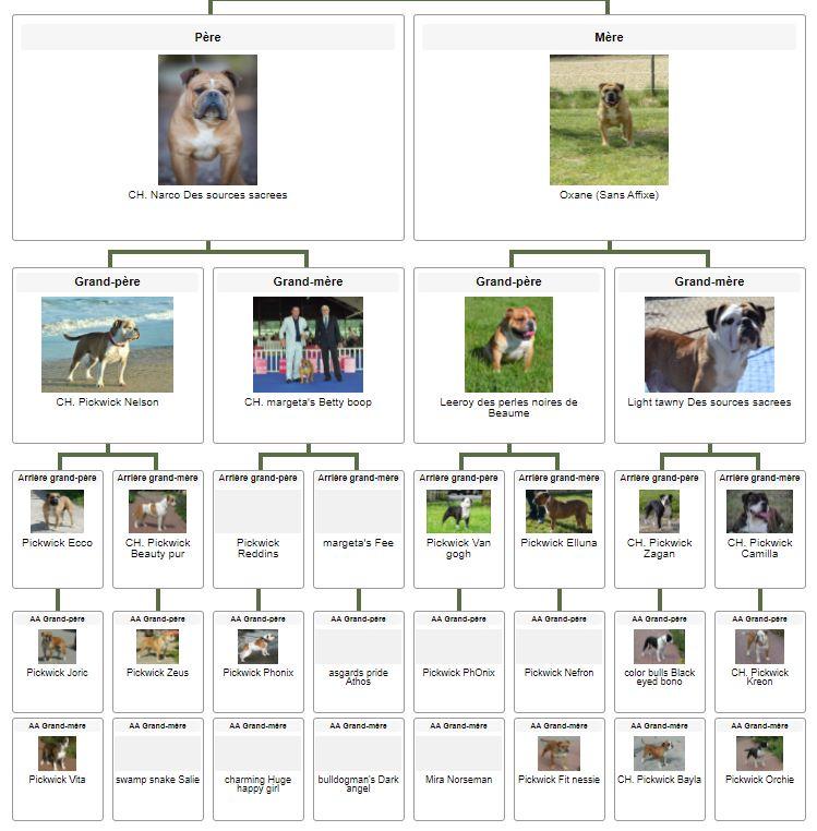 Les Belles Truffes - Bulldog Continental - Mâle - Sparrow Jack des Belles Truffes - Pédigrée