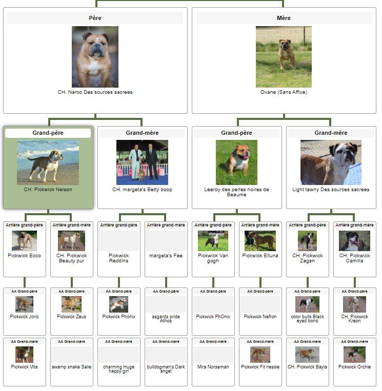 Les Belles Truffes - Bulldog Continental - Femelle - Sybelle des Belles Truffes - Pédigrée
